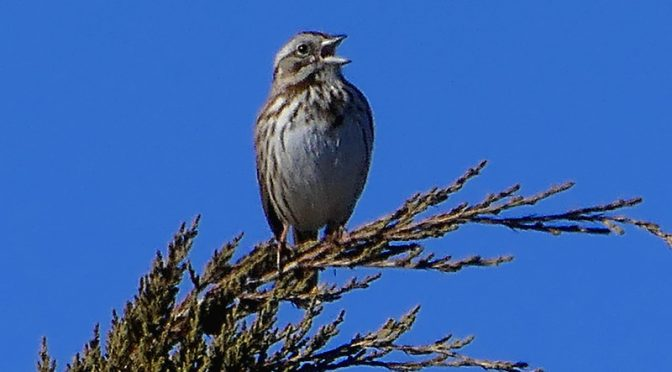 Song Sparrow Welcomes Spring On Cape Cod!
