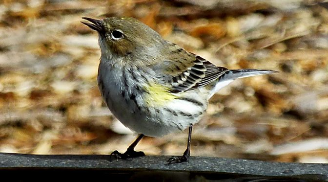 Yellow-Rumped Warbler At Our Bird Bath On Cape Cod.
