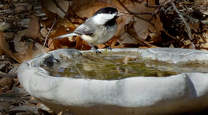 Beautiful Little Black-Capped Chickadee In Our Yard On Cape Cod.