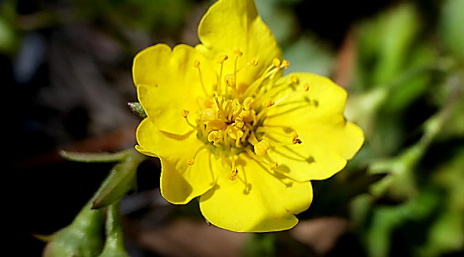 Yellow Creeping Buttercup Blooming At The Wellfleet Bay Wildlife Sanctuary On Cape Cod.
