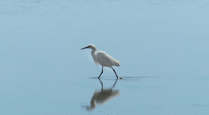 Snowy Egret Looking For Food At Nauset Marsh On Cape Cod.