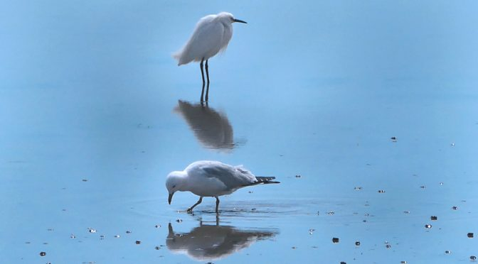 Beautiful Snowy Egret Reflection At Nauset Marsh On Cape Cod.