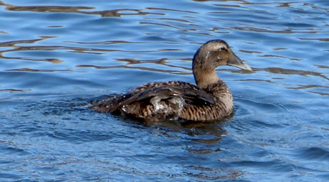 Common Eider At Boat Meadow Creek On Cape Cod.