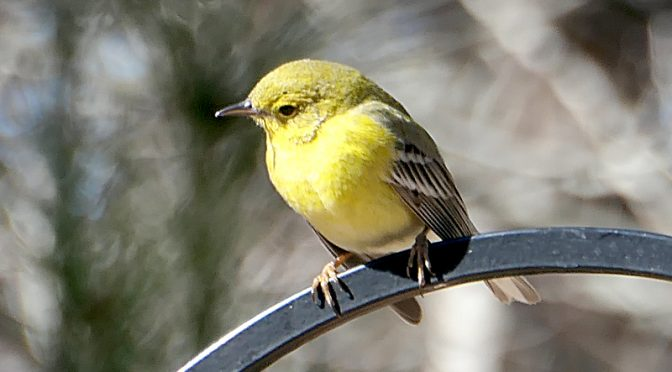 Beautiful Pine Warbler At Our Feeder On Cape Cod.
