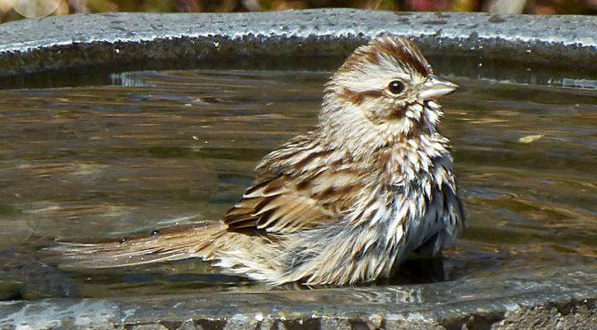 Bathtime At Our Birdbath On Cape Cod.
