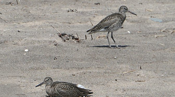 The Willetts Were Noisy At Coast Guard Beach On Cape Cod.