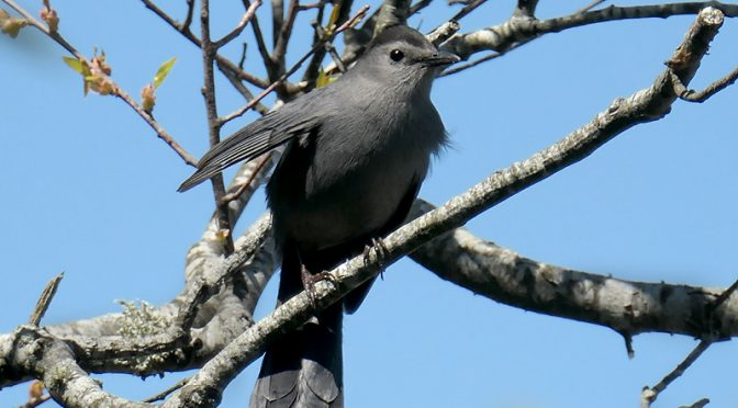 Love The Song Of The Catbird At Fort Hill On Cape Cod.