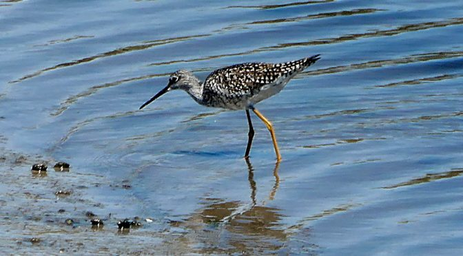 Greater Yellowlegs At  Rock Harbor On Cape Cod.