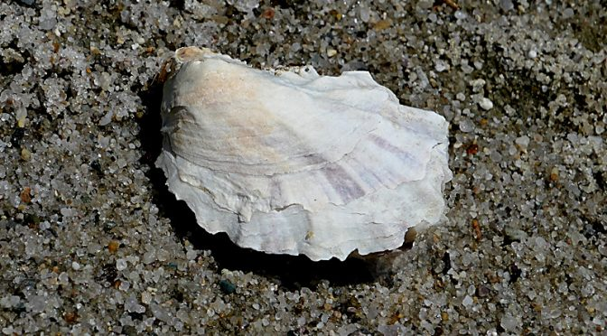 Delicate Oyster Shell On Cape Cod Bay.