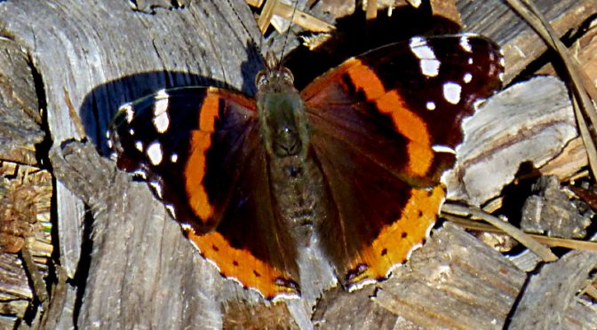 First Red Admiral Butterfly  In Our Yard On Cape Cod.