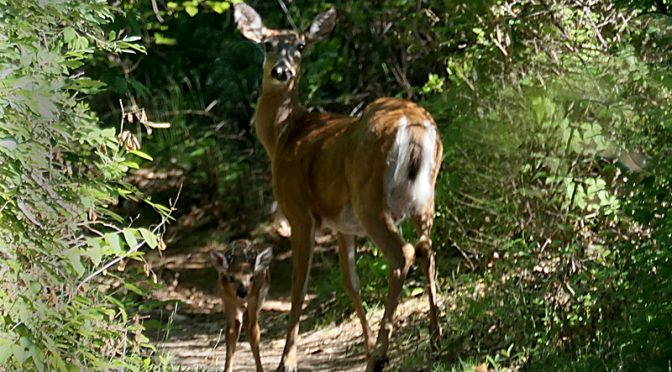 Adorable White-Tailed Deer And Her Little Fawn On Cape Cod!