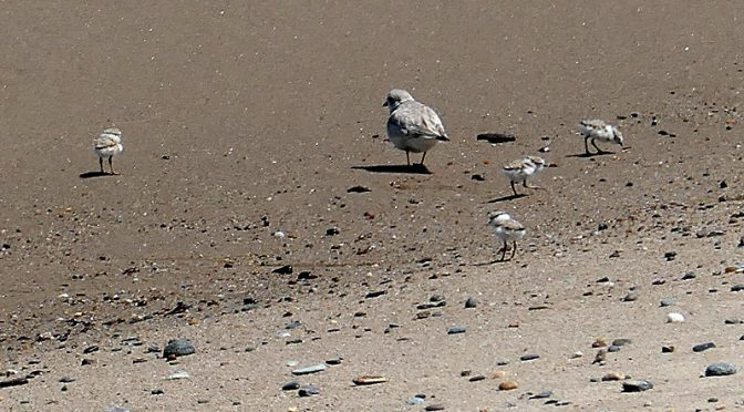 The Piping Plovers Are Nesting on Coast Guard Beach On Cape Cod!
