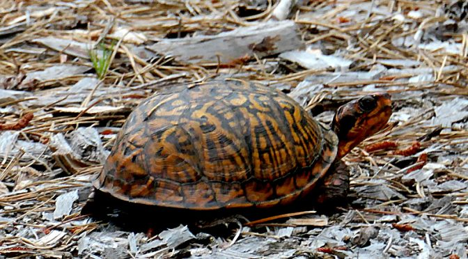 Box Turtle Lays Her Eggs In Our Yard On Cape Cod!