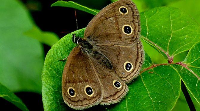 Beautiful Little Wood Satyr Butterfly On Cape Cod!