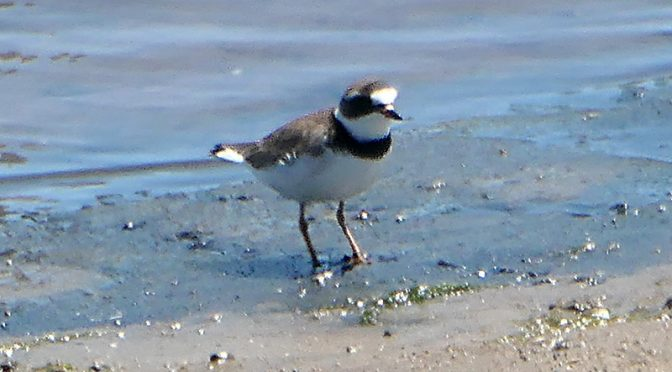 Semipalmated Plover At Rock Harbor On Cape Cod.