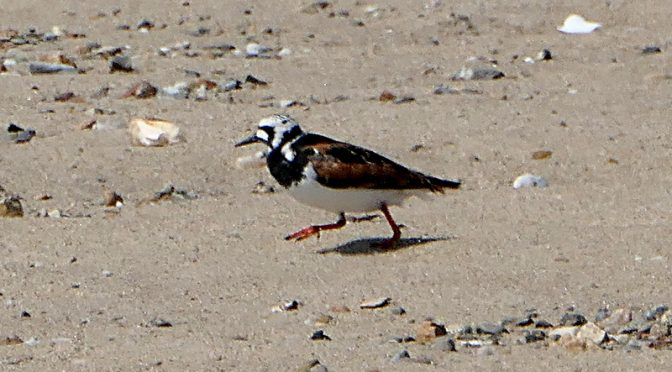 Colorful Ruddy Turnstone At The Wellfleet Bay Wildlife Sanctuary On Cape Cod.