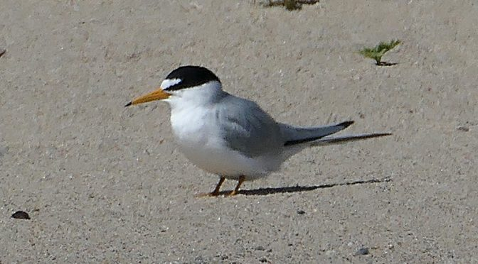 Least Terns On Coast Guard Beach On Cape Cod.