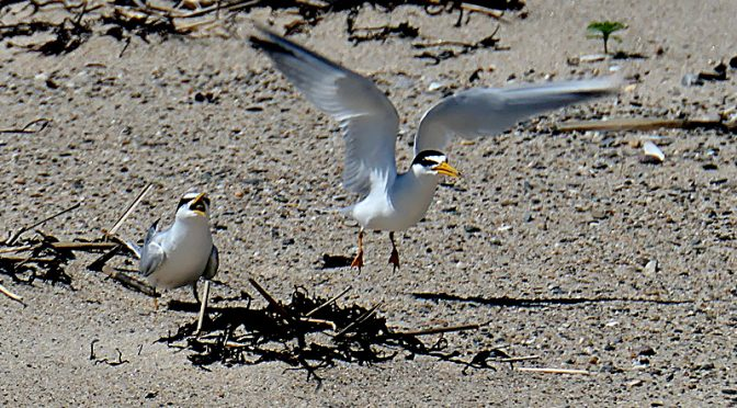 Least Terns Feeding On Coast Guard Beach On Cape Cod.