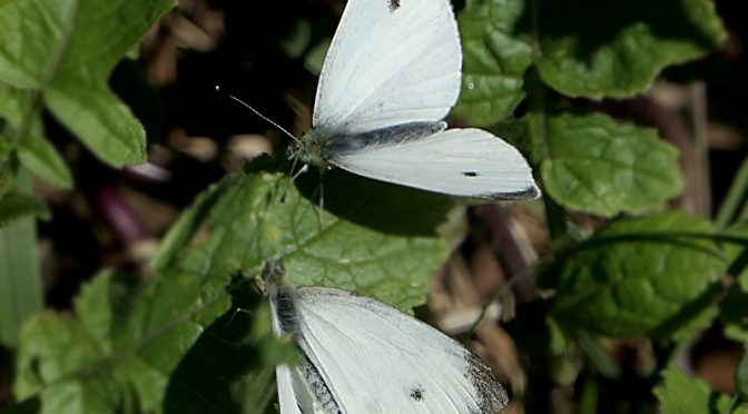 Two Cabbage White Butterflies On Cape Cod.