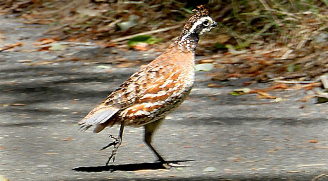 Lots Of Northern Bobwhites At Fort Hill On Cape Cod.
