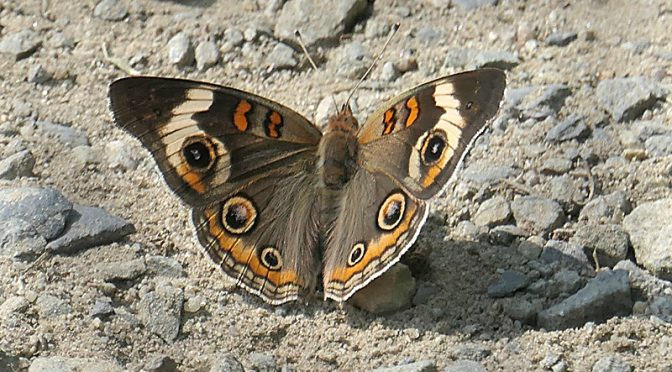Exquisite Buckeye Butterfly At Fort Hill On Cape Cod… A First For Me!