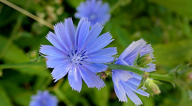 Beautiful Blue-Violet Chicory Wildflowers On Cape Cod.