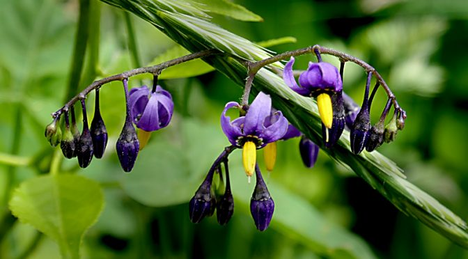Purple Climbing Nightshade Wildflowers On Cape Cod.