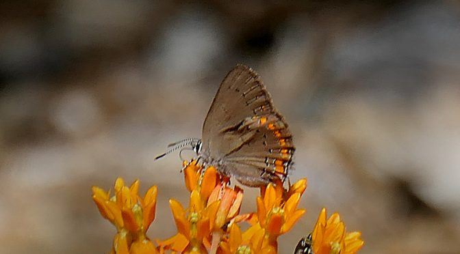 Beautiful Coral Hairstreak Butterfly At Fort Hill On Cape Cod.