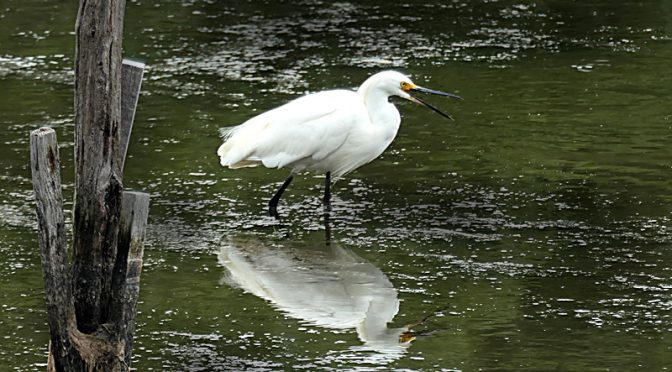Love This Snowy Egret At The Wellfleet Bay Wildlife Sanctuary On Cape Cod.