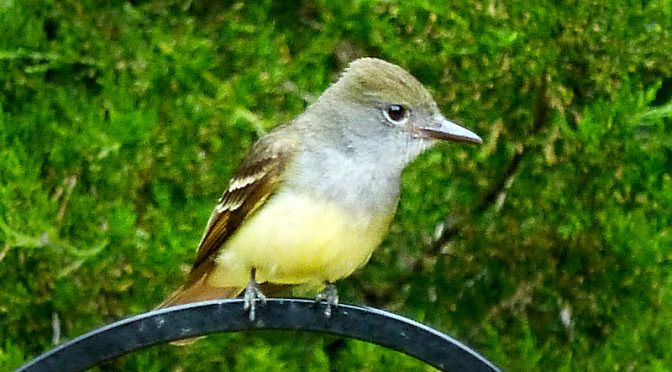 Great Crested Flycatcher In Our Yard On Cape Cod.