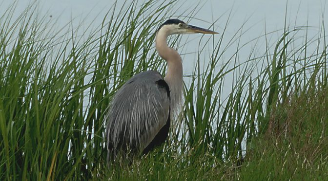 Great Blue Heron At Boat Meadow Creek On Cape Cod.