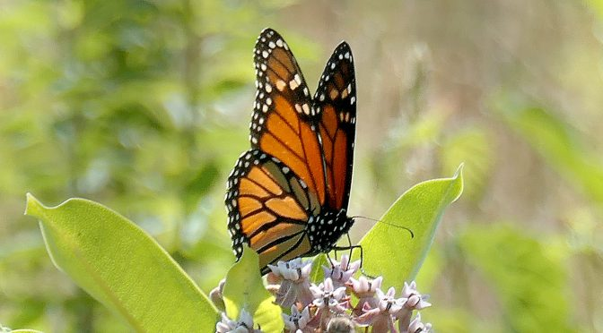 The Monarch Butterflies Are Back On Cape Cod This Summer!
