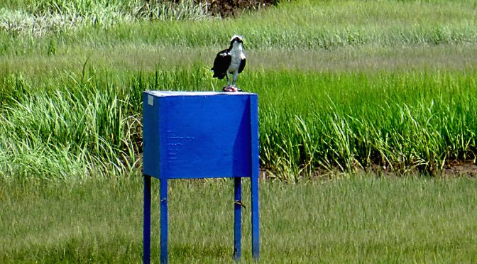 Osprey Feeding On the Blue Boxes On Cape Cod.