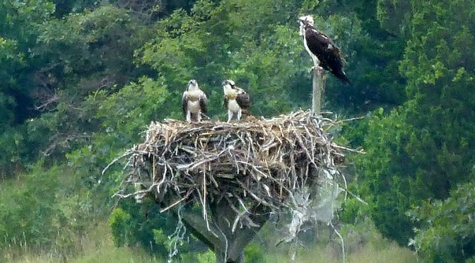 Osprey And Two Chicks On Their Nest On Cape Cod!