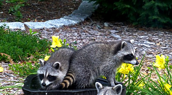 Guess Who Was In Our Bird Bath On Cape Cod?