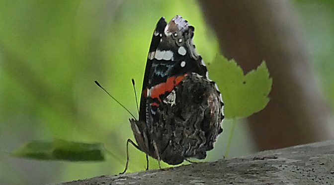 Red Admiral Butterfly High In The Tree On Cape Cod.