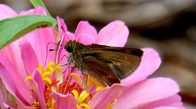 Brown Dun Skipper Butterfly In Our Yard On Cape Cod.