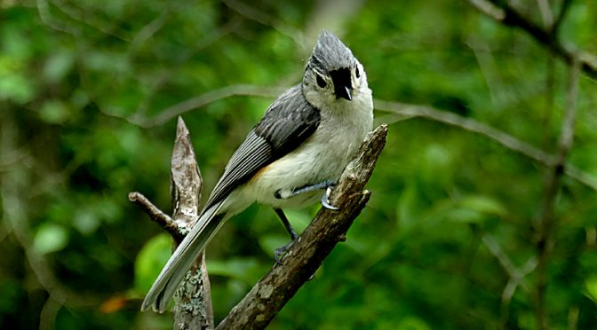 Tufted Titmouse On Beech Forest Trail In Provincetown On Cape Cod.