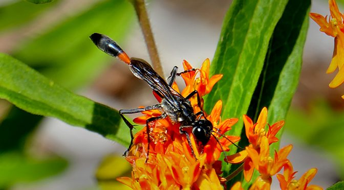 Beautiful Damselfly On My Butterfly Weed Plant On Cape Cod