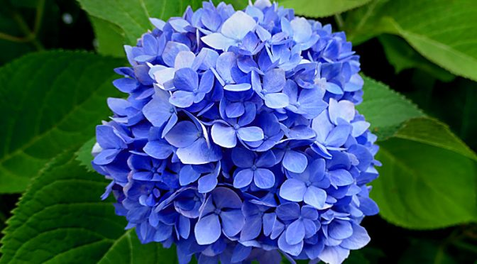 If You're On Cape Cod, Look For The Hydrangeas!