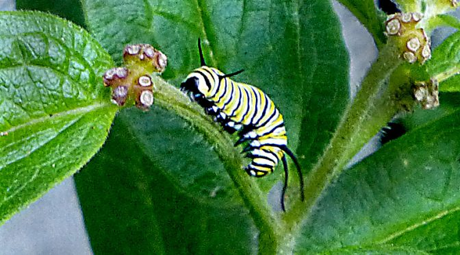 The Monarch Butterfly's Eggs Are Now Caterpillars On Cape Cod!