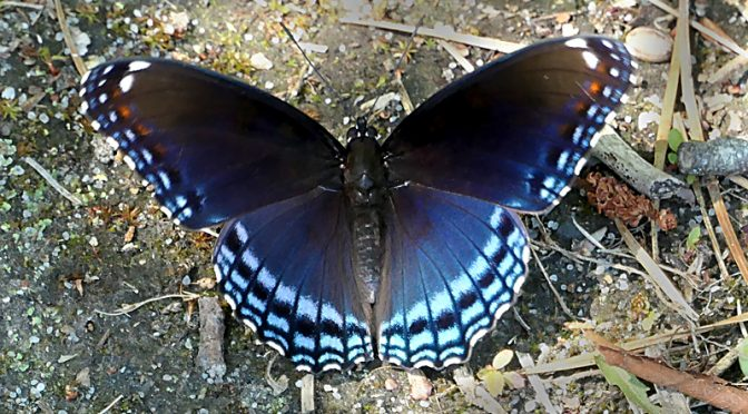 Red-Spotted Purple Butterfly In Provincetown On Cape Cod!