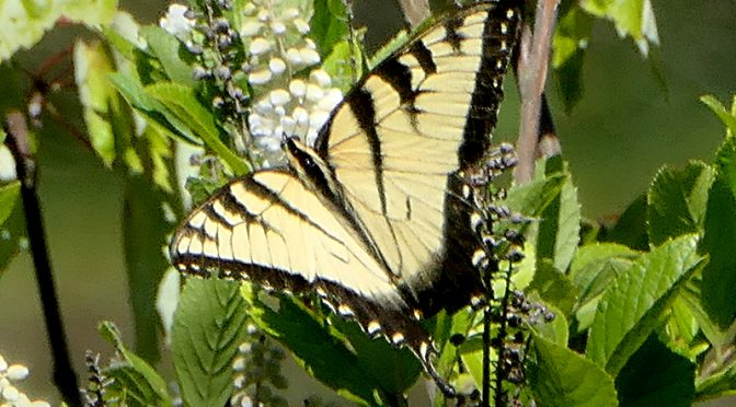 Beautiful Yellow Tiger Swallowtail Butterfly In Provincetown On Cape Cod.