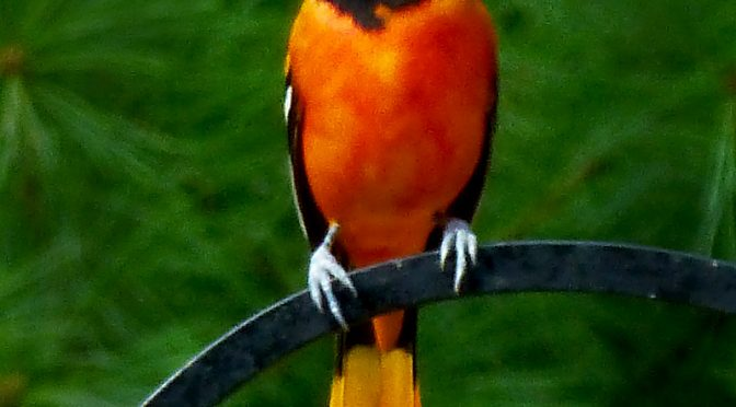 Love This Baltimore Oriole Photograph On Cape Cod.