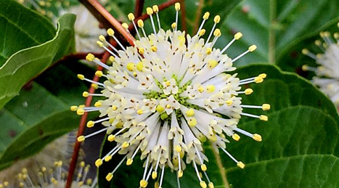 Beautiful Buttonbush Wildflowers At The Visitor Center In Eastham On Cape Cod.