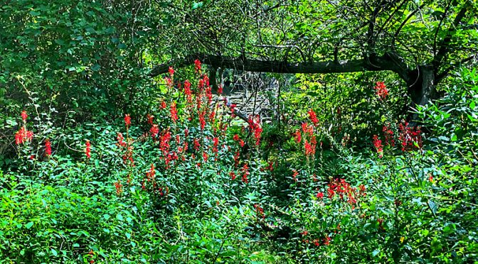 Red Cardinal Wildflowers At The Wellfleet Bay Wildlife Sanctuary On Cape Cod.