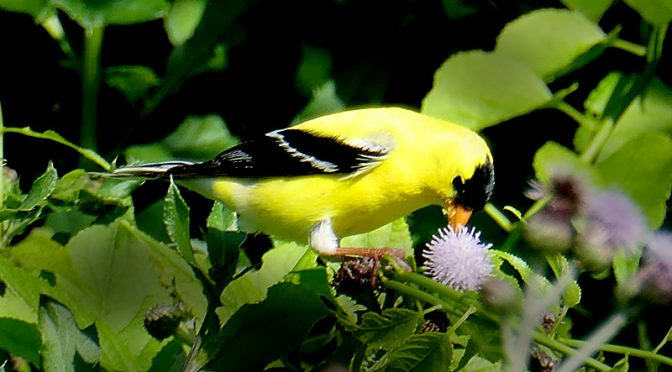 The American Goldfinches Love My Flowers Here On Cape Cod.