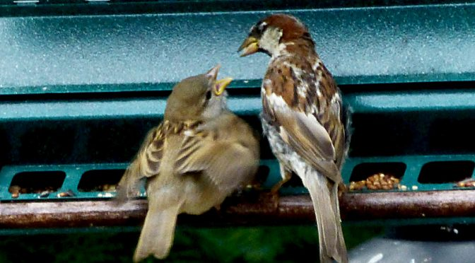House Sparrow Feeding Its Chick At Our Feeder On Cape Cod.