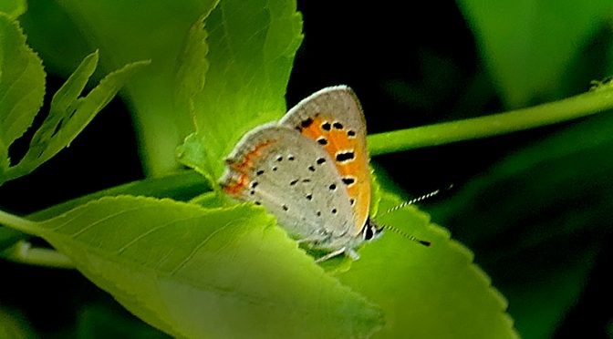 American Copper Butterfly On Cape Cod.