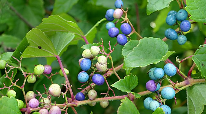 Multi-Colored Porcelain-Berries At Fort Hill On Cape Cod.